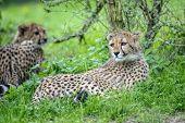 picture of cheetah  - Cheetah cub lying in greeen grass bellow bush - JPG