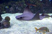 stock photo of devilfish  - scate - JPG