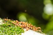 image of ant  - Ant swarms are helping to transport food back to the nest - JPG