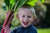 picture of harvest  - One little preschool boy who have Harvest one great bunch of rhubarbs in the garden on a sunny spring day - JPG