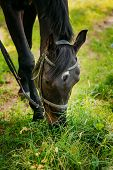 stock photo of horse face  - Black Horse Eats In Spring Pasture - JPG