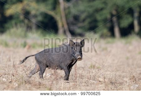 Wild Boar On Meadow