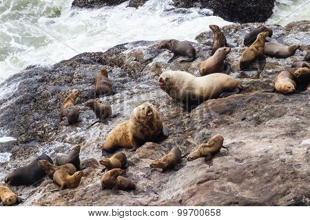 Sea Lions In Oregon