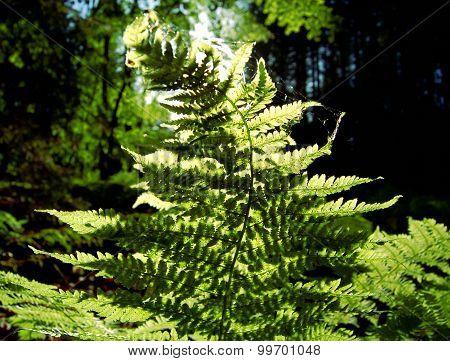 Illuminated fern
