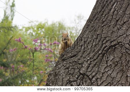 .the Red Squirrel Sits On A Tree.....