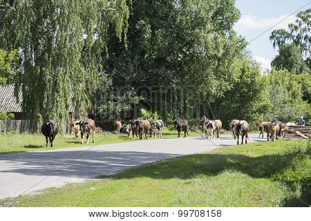 In The Summer The Street Shepherd Drives A Herd Of Cows.