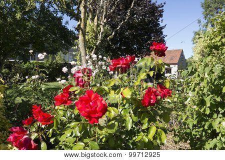 English country rose garden