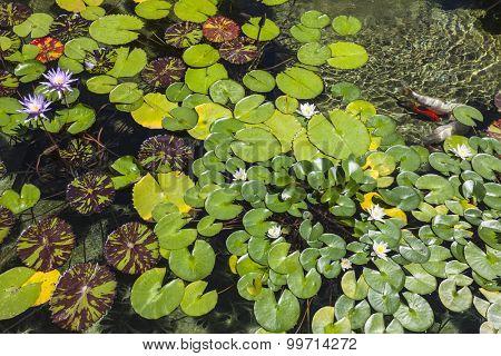 Lily pad pond with flowers and fish.
