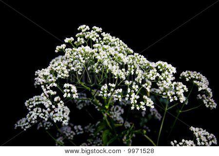 Inflorescences Umbellate Plants On Black