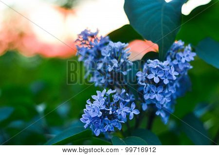 Blue Lilac Flower In Front Of Tender Blured Sunset