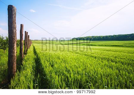 Idyllic green wheat field on a sunny spring day