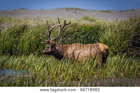 Bull Elk Grazing for Food