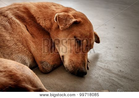 The Homeless Thai Brown Dog Sleeping