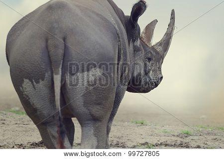 Portrait of Black Rhinoceros ,walking away