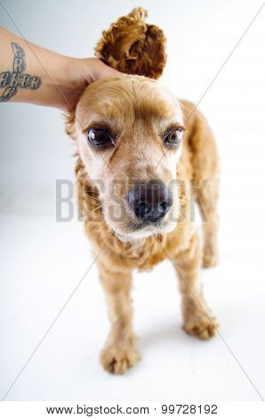 Cute English Cocker Spaniel puppy looking scared and hand petting it in front of a white background