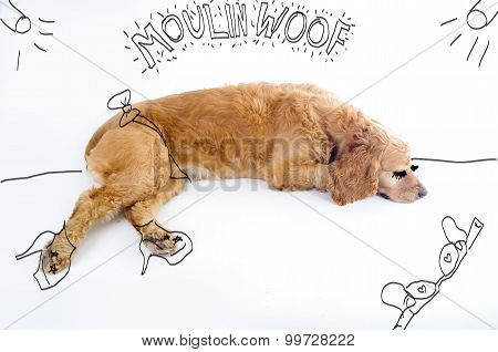 Cute English Cocker Spaniel puppy in front of a white background with moulin rouge inspired silly sk
