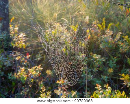 Web In The Swamp