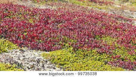 Arctostaphylos alpinus Sprengel on a mountain slope.