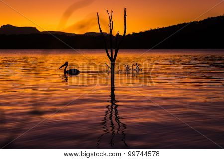 Silhouette of a pelican swimming at sunset