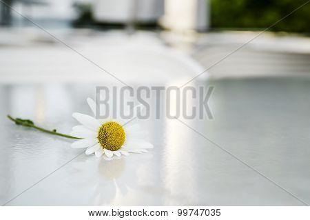 Daisy Flower On The Table