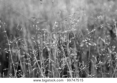 The Dry Blossoming Grass Of Monochrome Tone