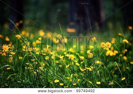 Defocus View Of Meadow With Bright Yellow Flowers