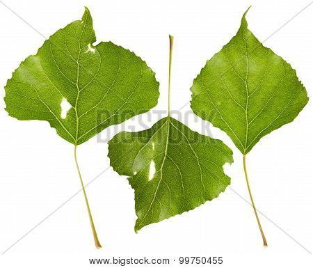 Poplar Leaves