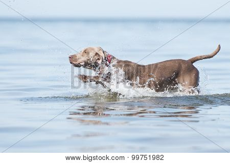 happy weimaraner dog at the sea