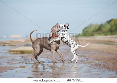 weimaraner dog playing with a dalmatian puppy