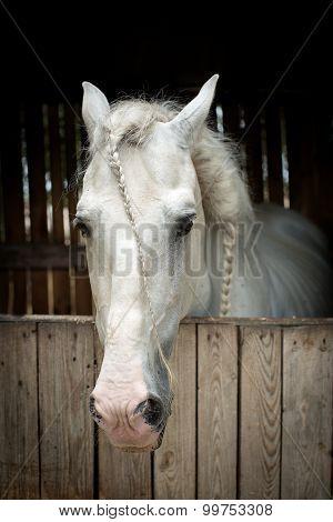 Beautiful  Quiet White Horse Waits In Paddock