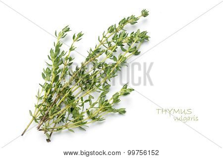 Fresh Green Thyme, Thymus Vulgaris, Isolated On White