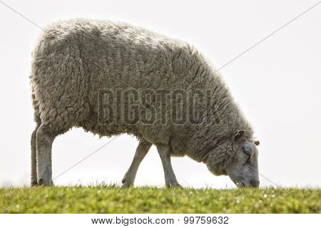 female sheep on North Sea dike closeup