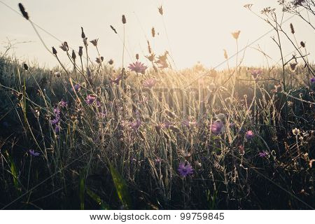 Field of dry wild weed backlit in the evening with warm sunlight