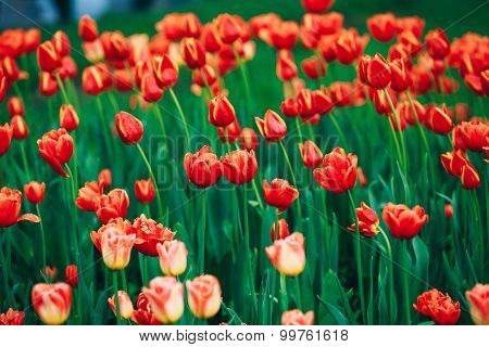 Red Flowers Tulips In Spring Garden Flower Bed Background
