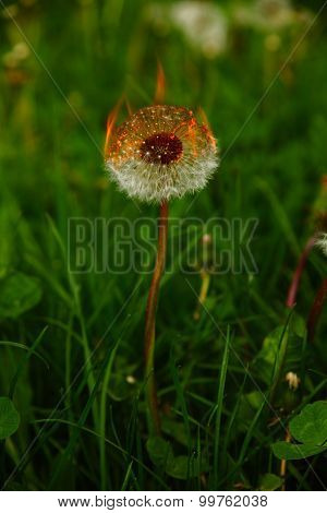 burning dandelion