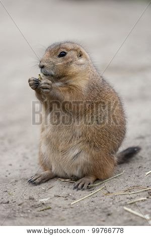 Standing and eating groundhog