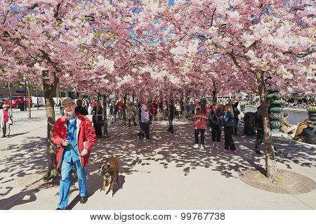 People enjoy walking under blossoming cherry trees at Kungstradgarden in Stockholm, Sweden.