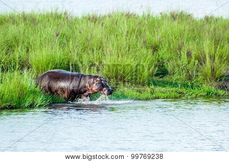 Hippo Entering Water