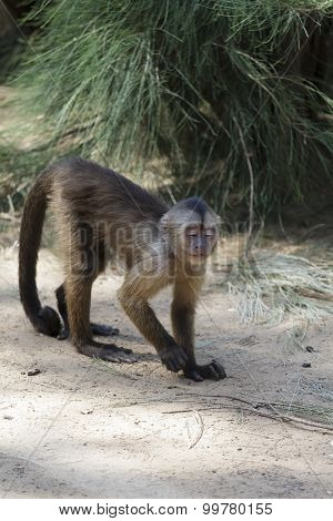 Baboon Mother And Son