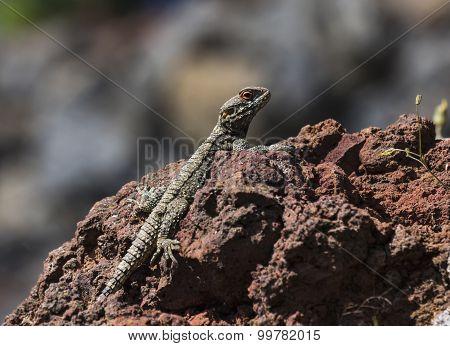 The lizard basks in the sun