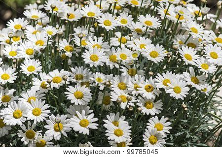 Blooming marguerits