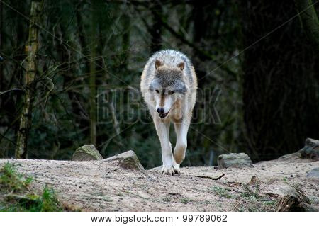 Wolf in forest.