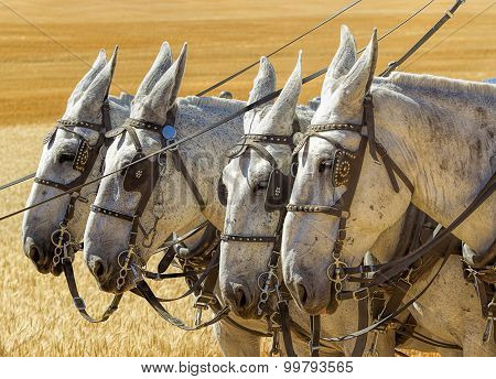 Four White Horses.