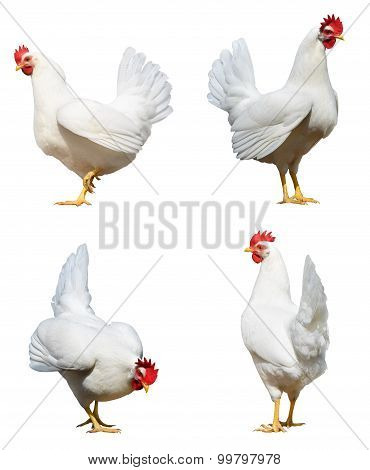 White Chicken Hens Isolated Clipping Paths
