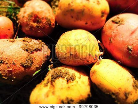 Fresh Red And Yellow Potatoes Dug Up From The Ground.