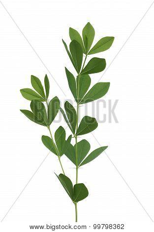 Blue Wild Indigo Leaf