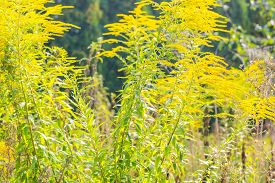image of goldenrod  - Beautiful yellow goldenrod flowers blooming - JPG
