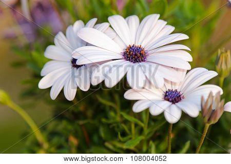 Closeup of White Cape daisy (Osteospermum) with purple center