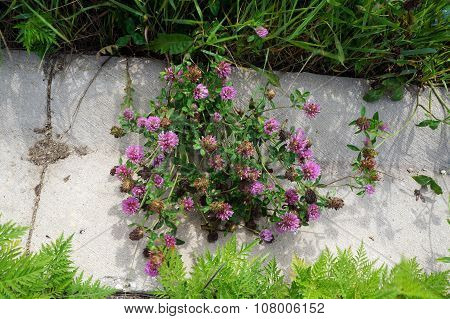 Red Clover Flowers Overhang a Curb