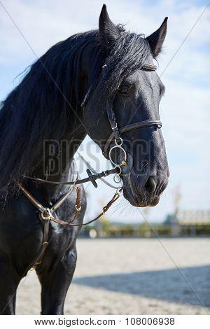 Black Horse Standing On Hippodrome